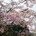Photos: 益軒桜街道 (8)