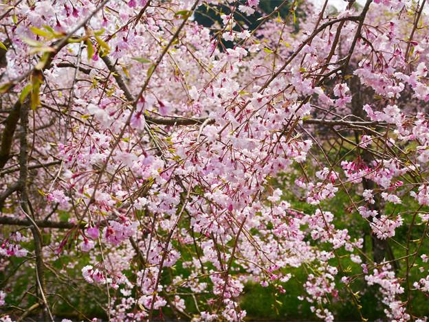 Photos: 益軒桜街道 (5)