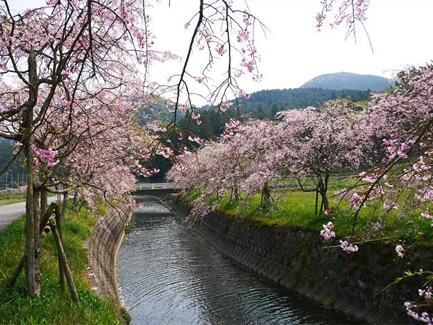 益軒桜街道 (3)