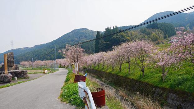 益軒桜街道 (1)
