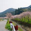 Photos: 益軒桜街道 (1)