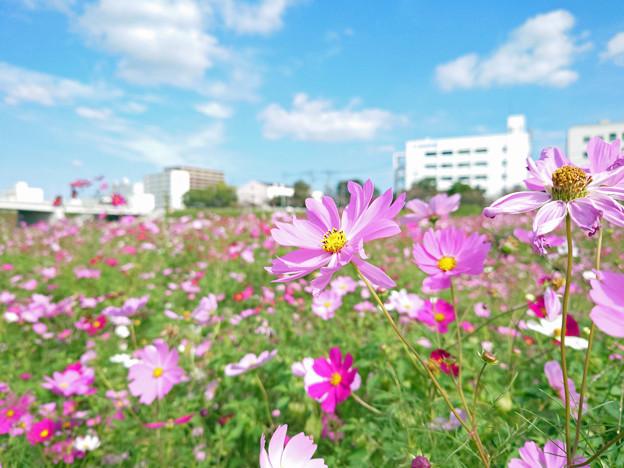 飯塚市河川敷のコスモス (5)
