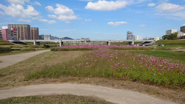 飯塚市河川敷のコスモス (3)