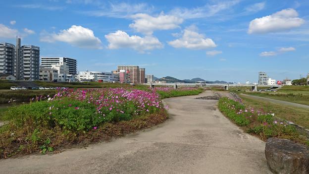 飯塚市河川敷のコスモス (1)