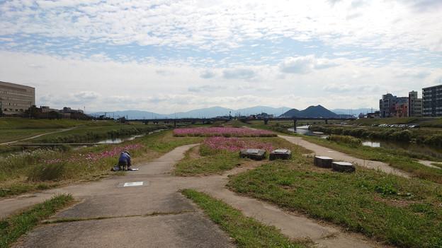 飯塚市河川敷のコスモス (7)