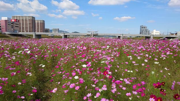 飯塚市河川敷のコスモス (4)