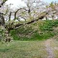 写真: 五稜廓公園櫻花
