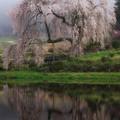 小田掛のしだれ桜
