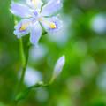 写真: Iris japonica