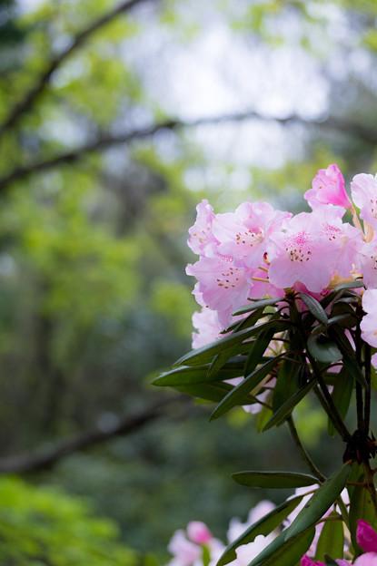 Photos: シャクナゲの森