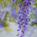 写真: 紫の季節