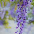 Photos: 紫の季節