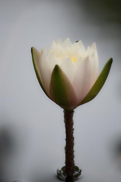 写真: 花のゴブレット