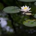 写真: 森に咲く睡蓮