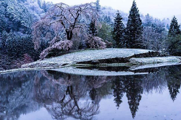 Photos: しだれ雪