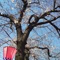 Photos: 近所の桜並木