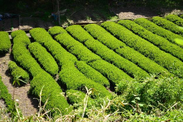 日本平茶畑
