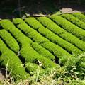 Photos: 日本平茶畑