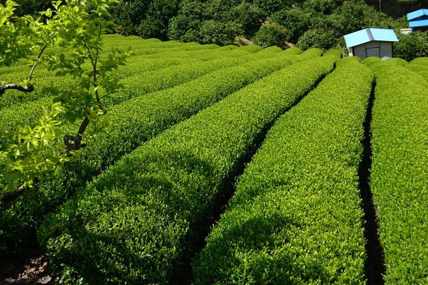 茶畑ブラブラ(日本平)