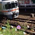 東海道線とコスモス