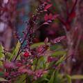 写真: 赤色の葉