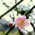写真: 紅梅花