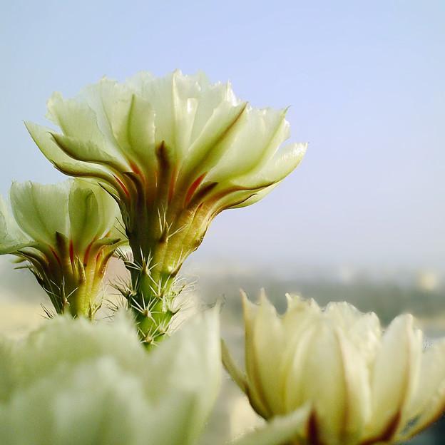 写真: ?花蝦仙人掌花