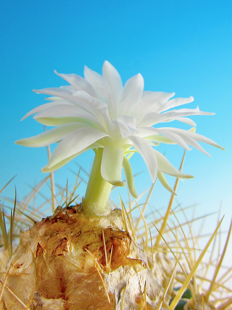 白豹冠仙人掌花