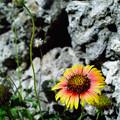 石牆邊的小野花