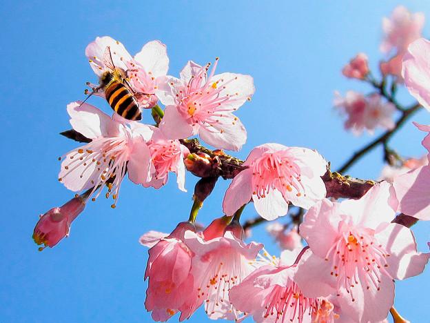 山櫻花(Prnus campanulata)