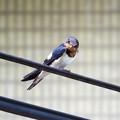 家燕(Hirundo rustica)