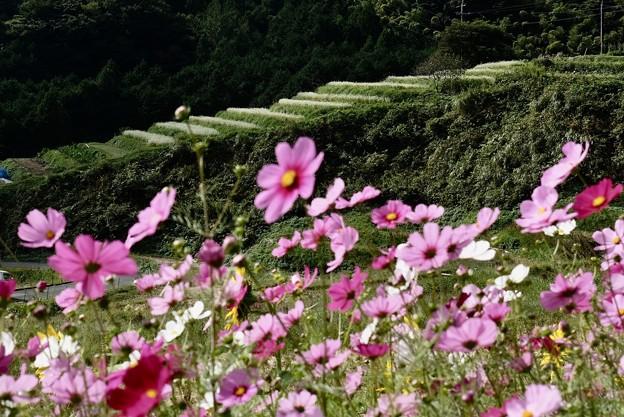 Photos: 秋の棚田 等隠寺