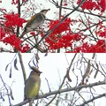 写真: 冬鳥2種