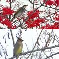 Photos: 冬鳥2種