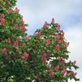 写真: 上見上げればベニトチの木