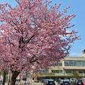 Photos: 北の桜