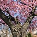Photos: 北の桜2