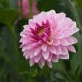 Photos: ピンクが好きなんだな