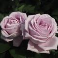 淡いピンク色の薔薇