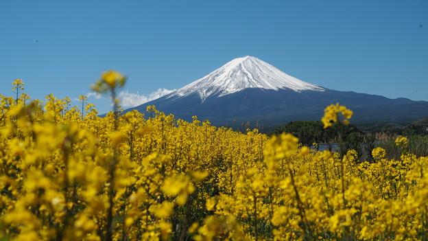 菜の花畑と富士山