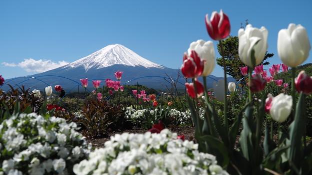 チューリップと富士山