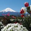 Photos: チューリップと富士山