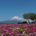 Photos: 芝桜と富士山
