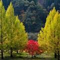 写真: 九頭竜湖。メタセコイヤ