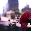 ~相生通り(あいおいどおり)に咲く薔薇~
