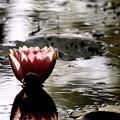 写真: ~雨上がりの睡蓮~♪
