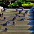 写真: 鳩(HDR)