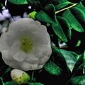 ~White camellia(白椿)~