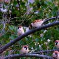 写真: キャ~~~~~ッ!!雀の生る樹よぉ~♪~うへへ~(´-ω-`)