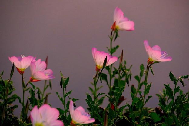 夕陽に染まったピンクの花・・